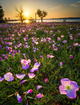 Field of Pink Evening Primrose lit by early morning sunshine photo