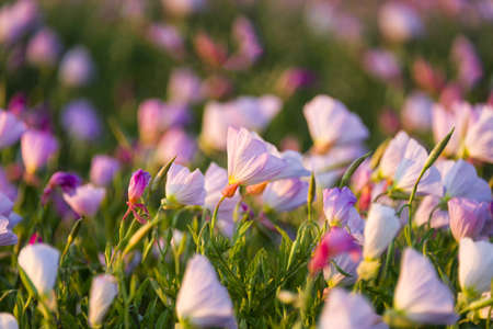 Texas wildflowers bathed in early morning light Archivio Fotografico