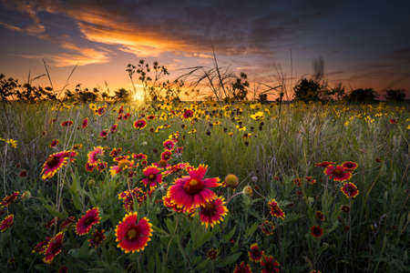 country landscape: Sunflowers and Indian blanket wildflowers in early dawn light