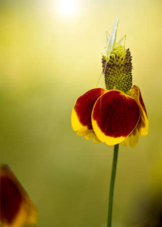Mexican Hat Flower with an insect on top photo