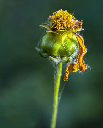 unopened: Finely textured unopened flower bud with withered golden petals