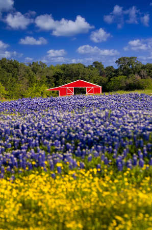 Cute red barn framed by a field of bluebonnets and sunflowers Stock Photo