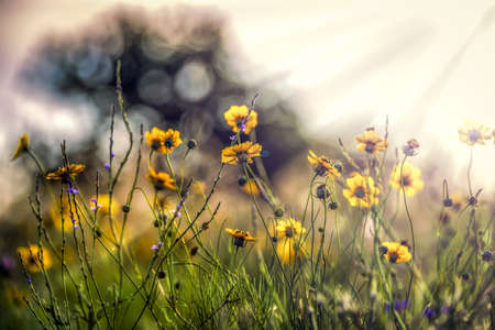Bright yellow sunflowers bathed in early morning rays of sunshine Reklamní fotografie