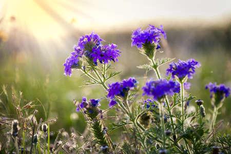 rosaces: Prairies Verveine rosettes illumin�s par t�t le matin soleil du Texas