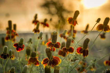 Mexican hat wildflowers bathed in early morning Texas sunshine