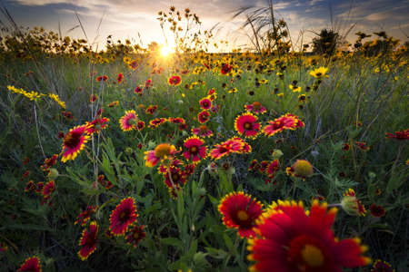 dawns: Bright sunflowers and Indian blanket flowers illuminated by a breezy dawns first light