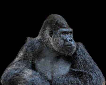 Adult gorilla, seemingly in deep thought, isolated on a black background 스톡 콘텐츠