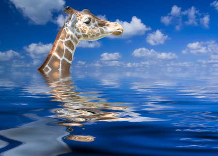above head: Giraffe keeping his head above water by virtue of having a long neck Stock Photo