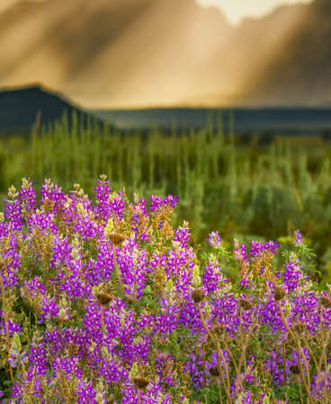 lupines: Cluster of purple lupines in Grand Teton National Park