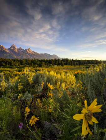 wyoming: Sunflowers at dawn at Blacktail Ponds Overlook in Grand Teton National Park, WY