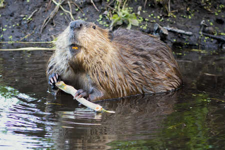 swampland: Adult beaver stripping bark off of a tree branch for dinner in Grand Teton National Park, WY