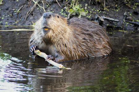 castoro: Adult castoro strippaggio corteccia di un ramo di un albero per la cena nel Grand Teton National Park, WY