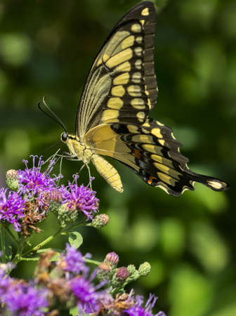 Yellow swallowtail butterfly sampling purple summer wildflowers in a Texas garden Stock Photo