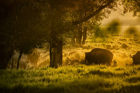 Adult and baby buffalo grazing in early dawn light on Mormon Row in Grand Teton National Park, WY
