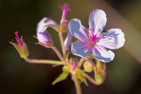 Sticky geranium wildflower on a summer day in Grand Teton National Park, WY