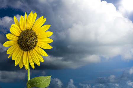 曇り空に対して隔離される夏ひまわり