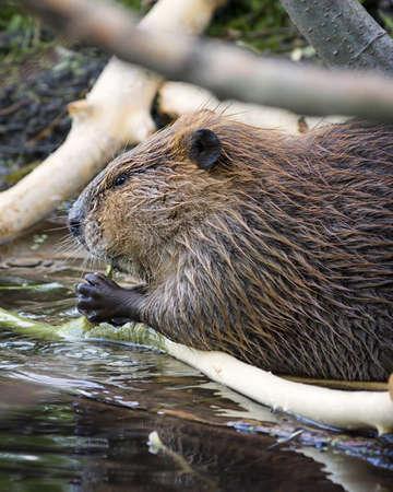 castor: Castor adulto extracci�n de corteza de una rama de �rbol para la cena en el Parque Nacional Grand Teton, WY