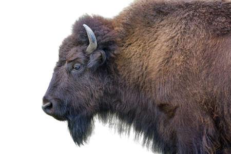 Volwassen gehoornde buffel geïsoleerd op een witte achtergrond