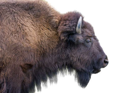american bison: Adult horned buffalo isolated on a white background Stock Photo