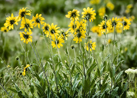 yellow wildflowers: Bright, colorful yellow aster wildflowers in Wyoming meadow