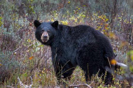 oso negro: Adulto oso negro que da al fotógrafo una mirada amenazante