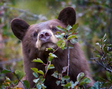 bear berry: Young cinnamon-colored black bear feeding on a berry tree in the Wyoming Tetons