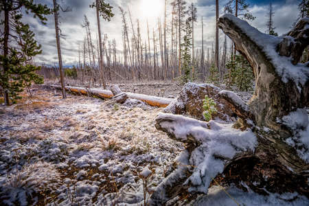 frigid: Early morning view of a September snowfall at in Yellowstone National Park, WY