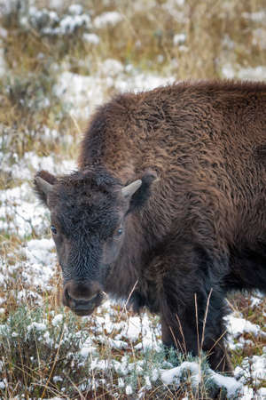 Young bison grazing on grass in Yellowstone National Park after a September snowfall photo