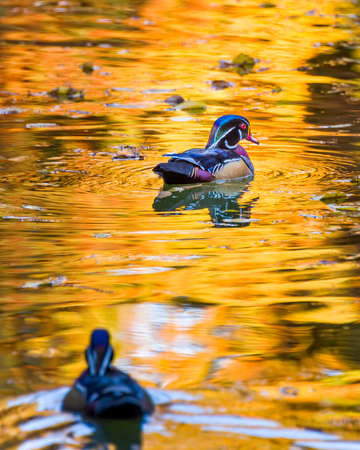 Colorful Texas wood ducks cruising a pond lit by reflections from golden autumn foliage photo