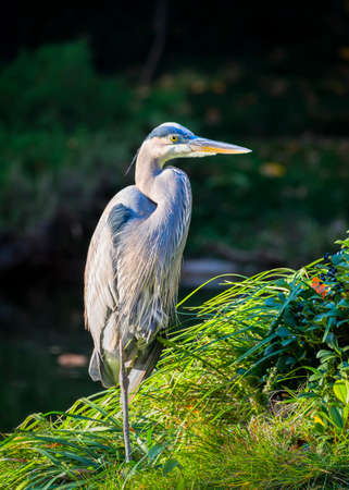 fort worth: Great Blue Heron bathed in late afternoon Texas sunlight