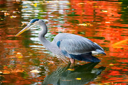 great blue heron: Great Blue Heron on a background of autumn foliage reflections in a pond