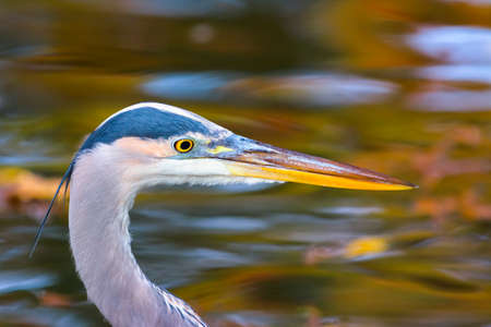 fort worth: Great blue heron fishing in pond reflecting golden autumn foliage Stock Photo