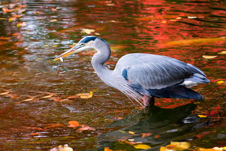 blue heron: Great Blue Heron on a background of autumn foliage reflections hunting for fish in a pond