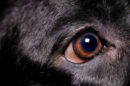 Extreme close up virew of the brown eye of a pure bred young black female labrador retriever Banco de Imagens