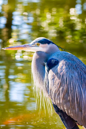 blue heron: Great Blue Heron at the edge of a pond, bathed in late afternoon Texas sunlight Stock Photo