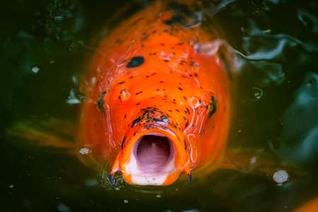 fort worth: Large carp (Japanese Koi) begging to be fed Stock Photo