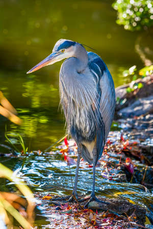 fort worth: Great Blue Heron at the edge of a pond, bathed in late afternoon Texas sunlight Stock Photo