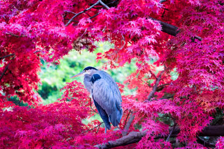 japanese maples: Great Blue Heron framed by brilliant red Japanese Maple leafs