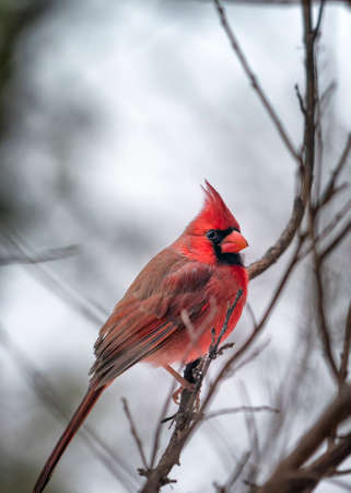Male cardinal perched in a tree on a snowy Texas day