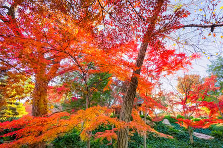 autumn colors: A burst of fall color with Japanese Maple trees on display