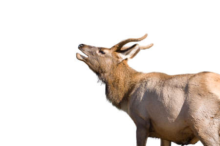 bellowing: Mule deer calling out in Yellowstone National Park