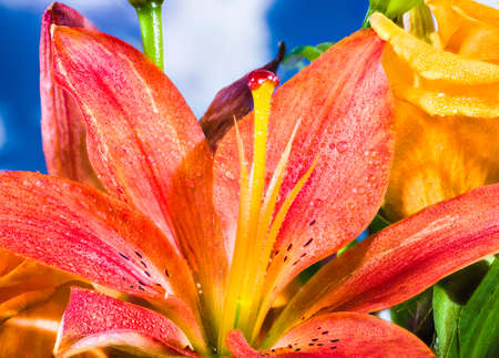 Daylily de color carmes� cubierto de gotas de agua photo