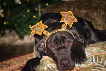 labrador christmas: Young black female Labrador Retriever wearing a New Years holiday costume crown