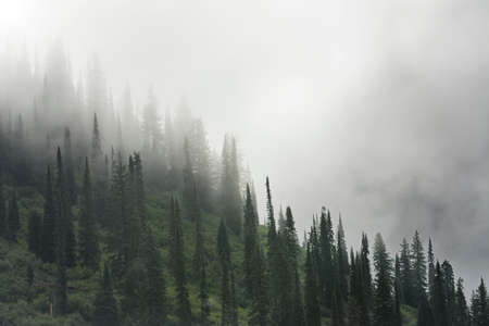 Pine trees shrouded in fog on a gloomy autumn morning on Going to the Sun Road in Glacier National Park, MT