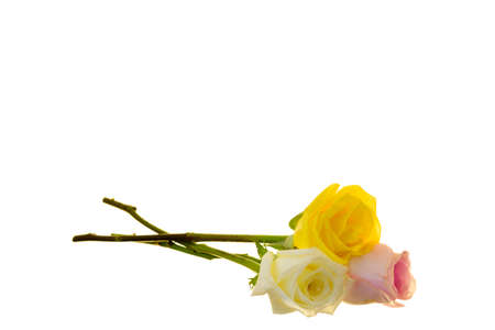 yellow roses: Pink, white and Yellow long stem roses isolated on a white background Stock Photo