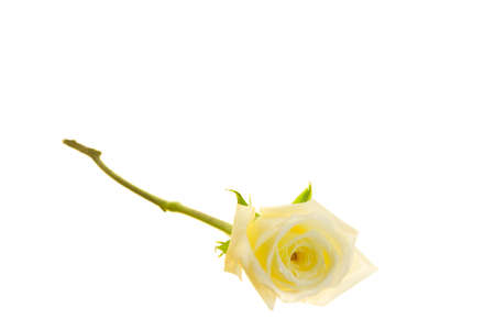 Long stem yellow rose isolated on a white background