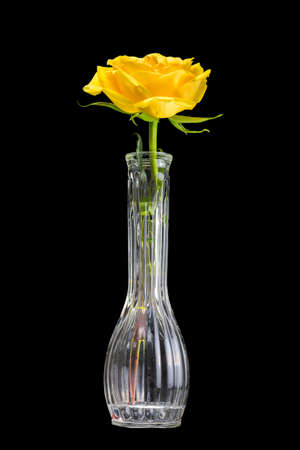 long stem roses: Yellow long stem roses in a vase isolated on a black background