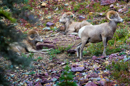 rocky mountain bighorn sheep: Bighorn Sheep relaxing in Glacier National Park, MT