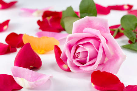 Collection of multicolored rose petals arranged with a pink long-stem rose on a white background photo