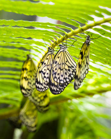 Paper Kite butterflies hanging from the underside of a fern
